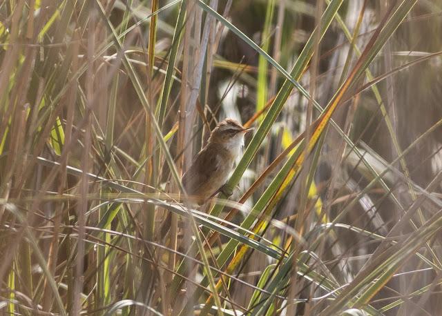 Moustached Warbler - S'Albufera Natural Park, Mallorca