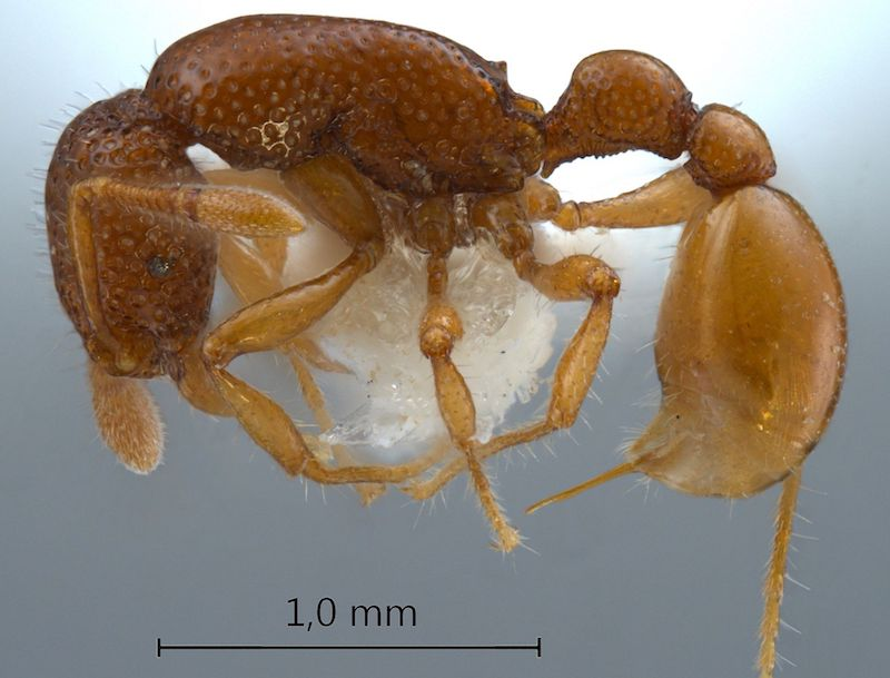 Only a handful of Tyrannomyrmex ants have been found in India, Singapore, Sri Lanka, and probably the Philippines, all of them deceased and incidentally collected from leaf litter.