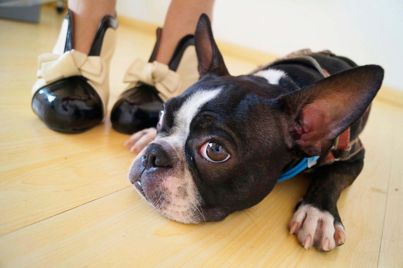 Boston Terrier, Cute Dog