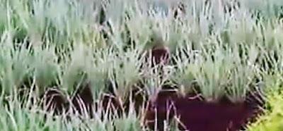penganakan dalam budidaya daun bawang