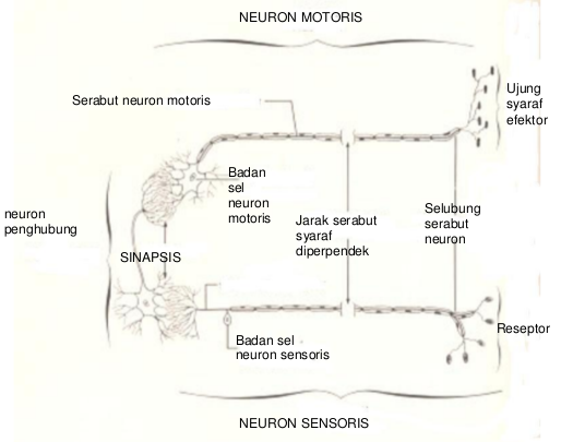 neuron sensoris, interneuron, neuron motoris