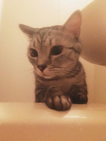 湯船の中を覗いているサバトラ猫