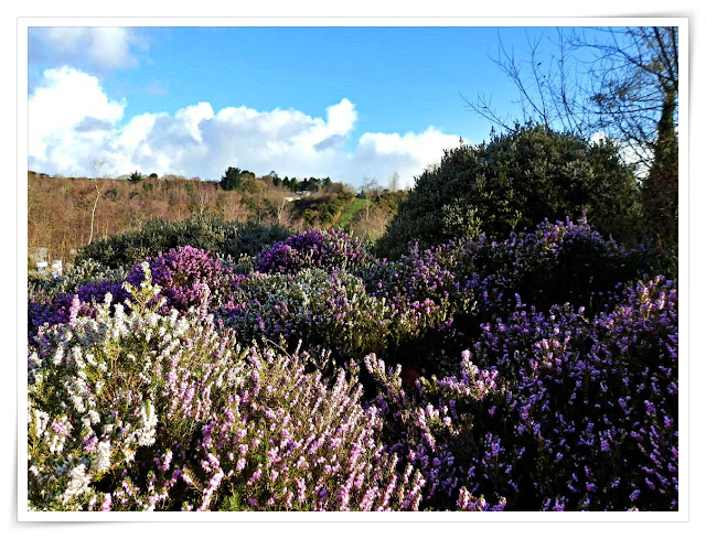Heather in flower at the Eden Project, Cornwall