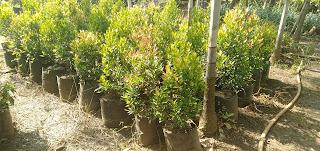 Jual Pohon Pucuk Merah, Tanaman Pucuk Merah