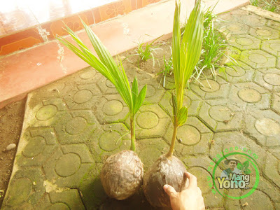 Bibit kelapa Kopyor.