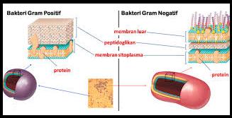 Bakteri Gram Positif dan Bakteri Gram Negatif