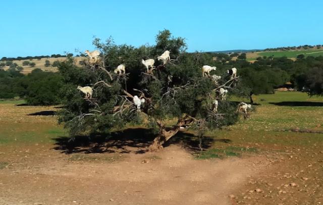 kambing unik