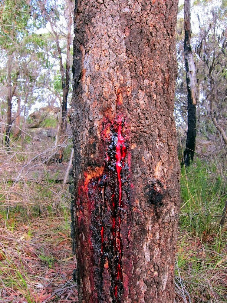 Bloodwood Tree | The tree oozes dark red colored sap
