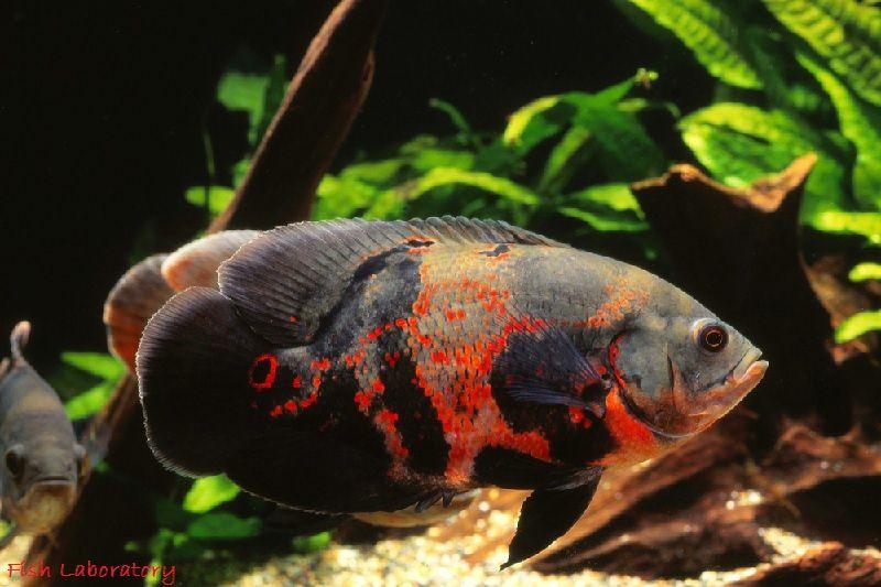 Gambar Manfaat Ikan Oscar Bila Anda Merawatnya Dengan Benar
