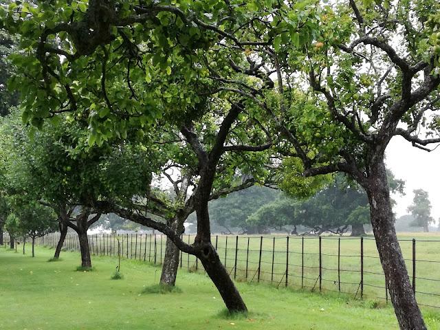 The Apple Tree Walk, aleja z jabłoni, ogród angielski