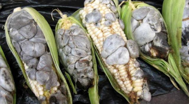 agen-gaple-jagung-beracun-di-meksiko