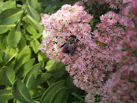 A honeybee on pink sedum