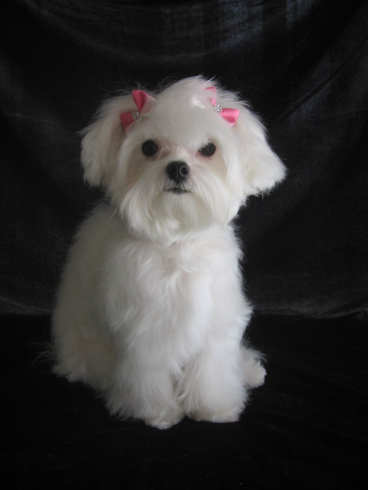 Maltese Poodle White | www.pixshark.com - Images Galleries ...