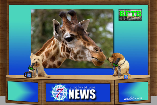 BFTB NETWoof News reports on the still pregnant giraffe
