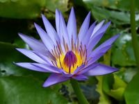 Kansa Oil Ingredient - The Indian Blue Water Lily or Nymphaea Stellata