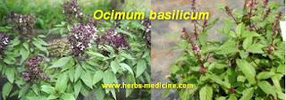 Insomnia use Ocimum basilicum