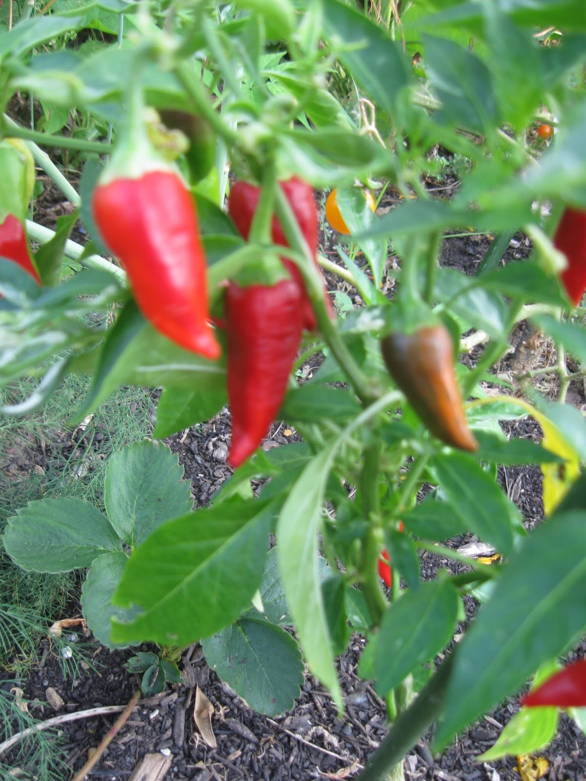 Popping Peppers