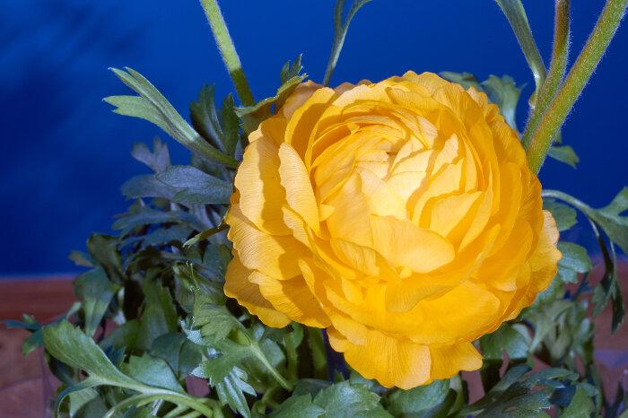 buttercup flower wallpaper