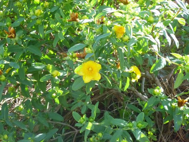 Hypericum frondosum,森伯斯特,圣约翰's Wort.