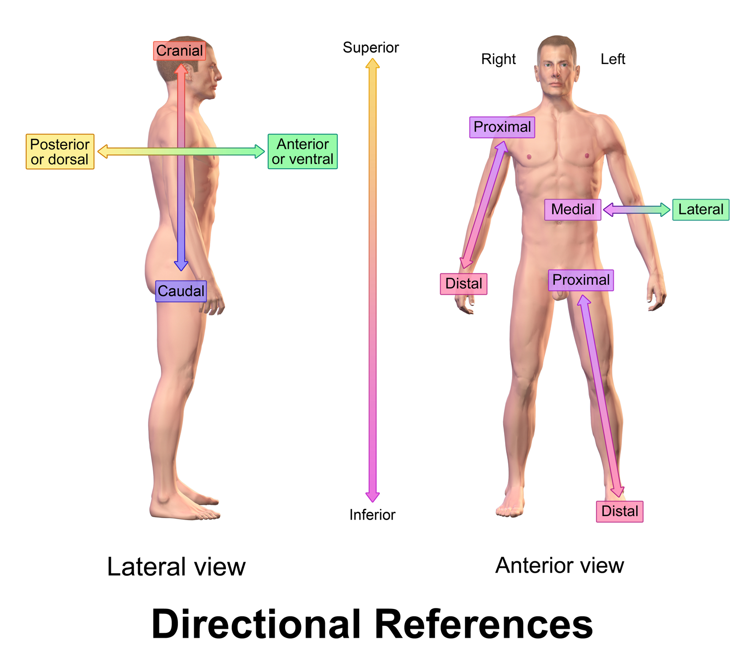 The Coding Station: ANATOMICAL DIRECTIONS