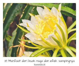 bunga dari tanaman buah naga yang sudah mekar