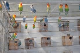 Burung Lovebird | Cara Budidaya Burung Lovebird Untuk Pemula