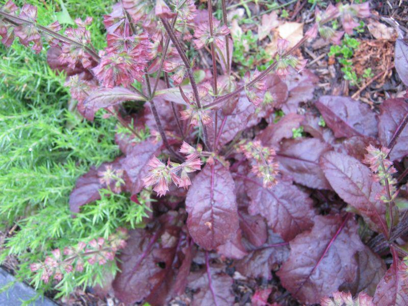 plantas de hojas rojas selección lista árboles arbustos tapizantes enredaderas crasas