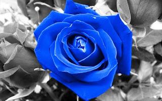 Gambar Bunga Mawar Biru Paling Cantik_Blue Roses Flower 200012