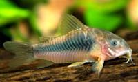 Jenis Ikan Corydoras Aeneus