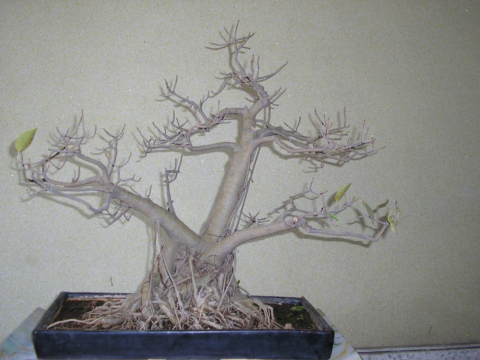 reducing leaf size in bonsai, leaf size reduction in bonsai.