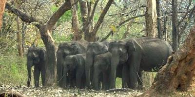 Elephant herd with baby elephants mudumalai national park