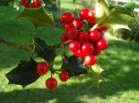 fruto maduro del acebo