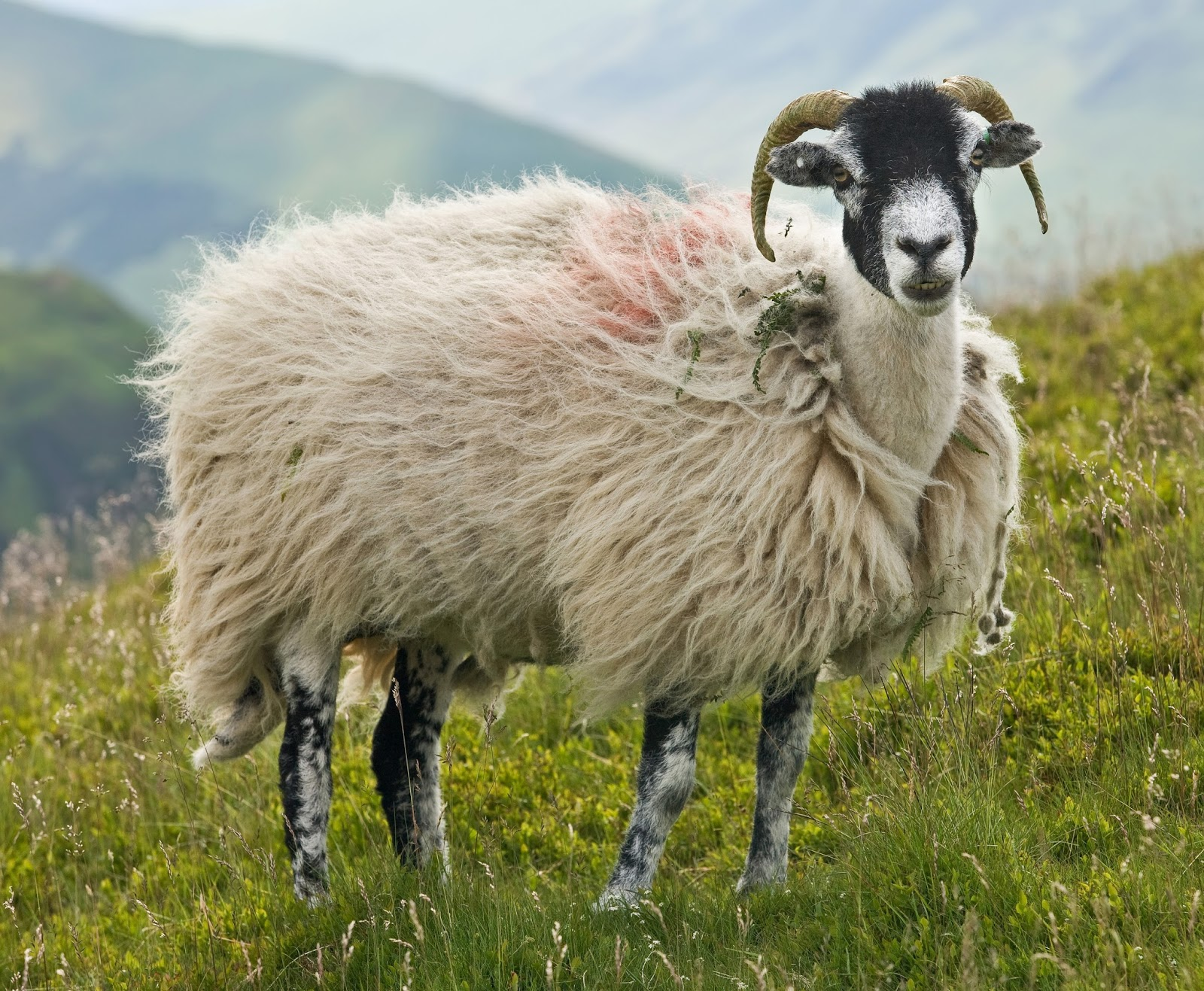 Mammals Animals: Swaledale Sheep, Lake District, England