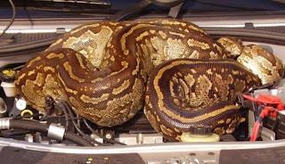 Kap Mobi Di Huni Ular Python
