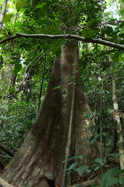 A huge and wide tree in the rainforest.