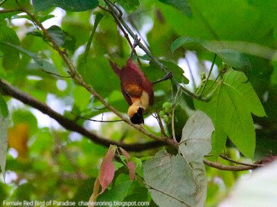 Red Bird of Paradise (Paradisaea rubra) was eating fruits in a tree