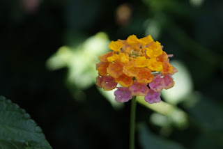 Flor: Lantana per Teresa Grau Ros