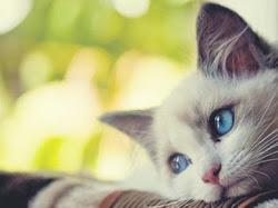 5 Kucing yang Memiliki Bentuk Aneh di Dunia