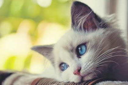 5 Kucing Yang Mempunyai Bentuk Abnormal Di Dunia