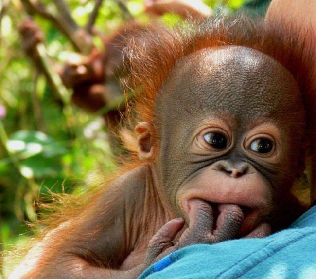 Wallpaper Baby Orangutan Baby