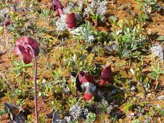 Sarracenia pourpre - Sarracenia purpurea