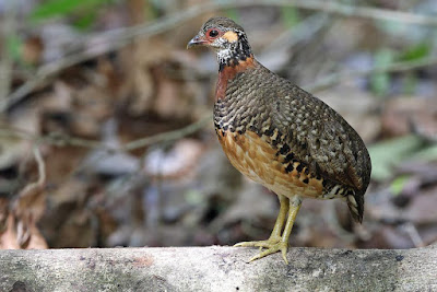 Chestnut necklaced Partridge