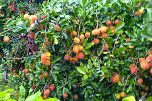 musim,rambutan,hujan,tumbuhan