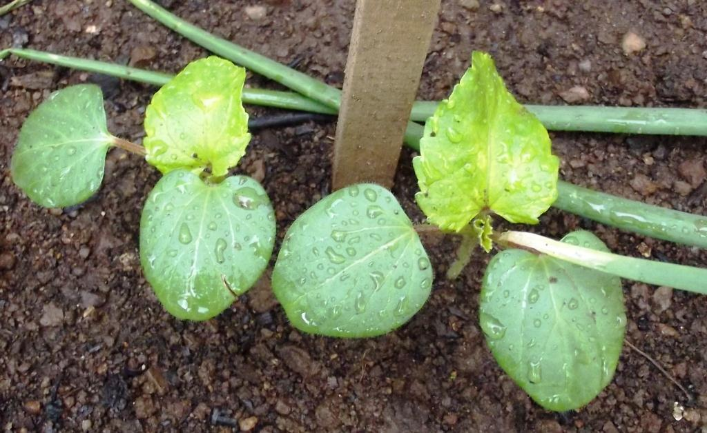 Roots 'n' Shoots: Squash & Pumpkin: How To Grow − Fruit(s ...