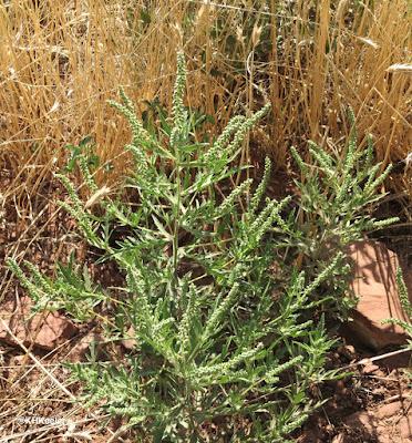 ragweed, Ambrosia