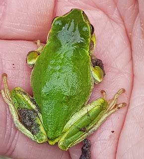 二ホンアマガエル Japanese tree frog