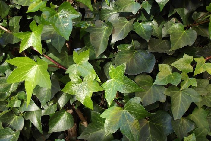 10 Plantas Trepadoras Para Climas Frios Guia De Jardin - Nombres-de-plantas-de-exterior