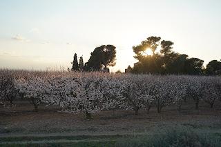 Exemple d'images avec le Sony A7 III + 24-240. Essai / test photo. Image / picture sample. Abricotiers, Roussillon, en fleurs, coucher de soleil.