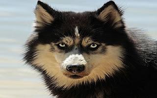 Occhi celesti husky cane