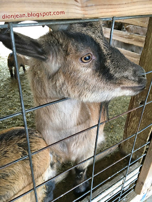 Goat is ready for a bite of food